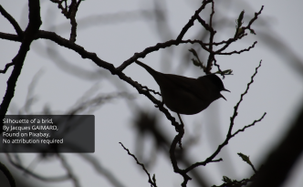 Birds of Romania : a bird's silhouette on a tree, black and white photography